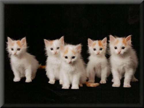 Gatos de Van